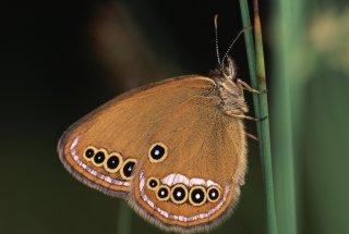 Metulji se pojavljajo v juniju in juliju. V obliki metulja posamezni osebek preživi manj kot 2 tedna.