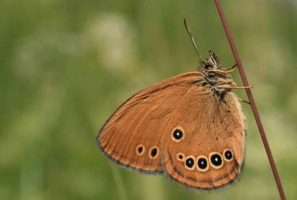 Barjanski okarček velja za eno izmed 15 najbolj ogroženih vrst dnevnih metuljev v Evropi.
