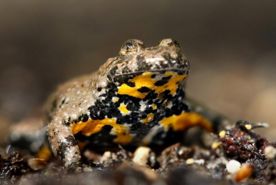 Trebuh hribskega urha je rumeno do oranžno obarvan in posejan s temnimi lisami, katerih vzorec je pri vsakem osebku specifičen. Na osnovi vzorca lis prepoznamo individualne osebke.