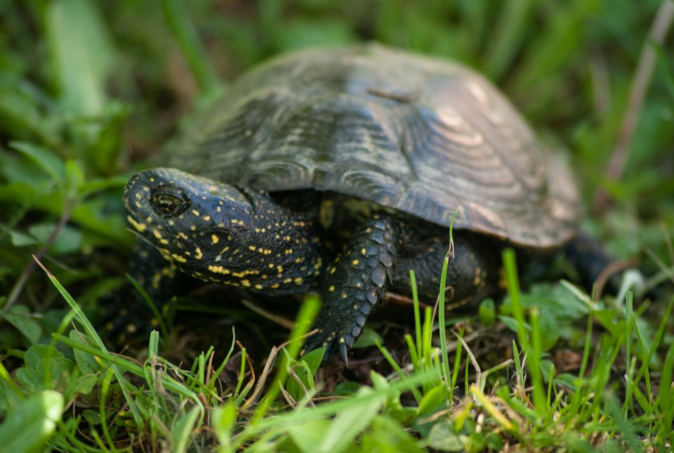 Močvirska sklednica je naša edina avtohtona sladkovodna želva.