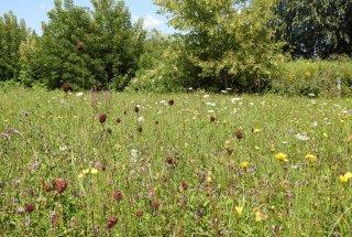 Življenjski prostor strašničinega mravljiščarja so travniki, kjer uspeva zdravilna strašnica.