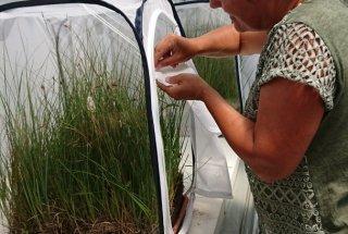 Dr. Tatjana Čelik jajčeca s stene gojilnice prenaša na hranilne rastline.