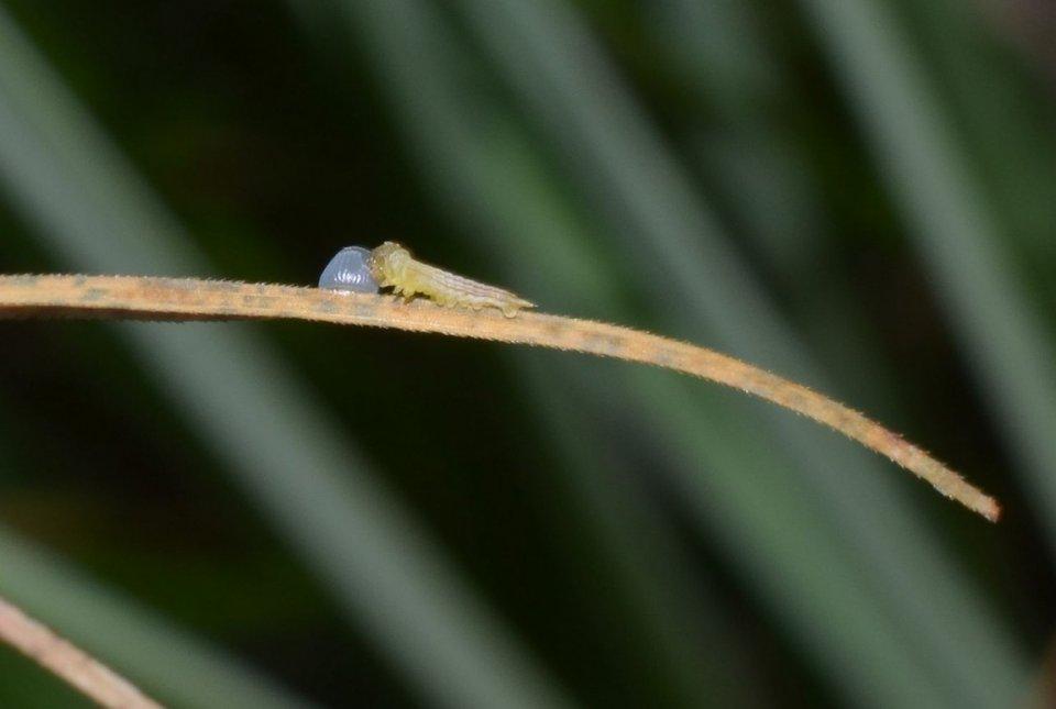 Gosenica barjanskega okarčka.