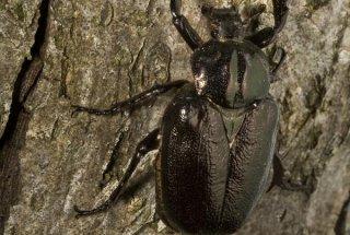 Puščavnik je naša največja saproksilna vrsta hroščev- ličinke živijo v duplih listavcev in se hranijo z lesnim muljem