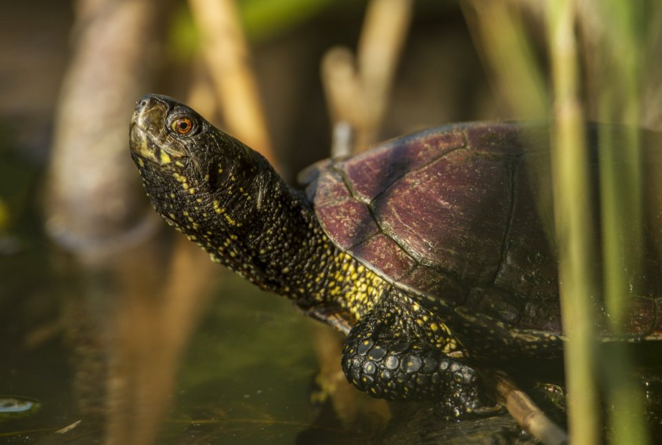 Tujerodne želve ogrožajo avtohtono močvirsko sklednico.