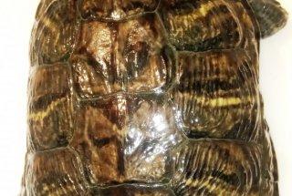 Vse izlovljene želve v tem letu so bile okrasne gizdavke rdečevratke in rumenovratke.