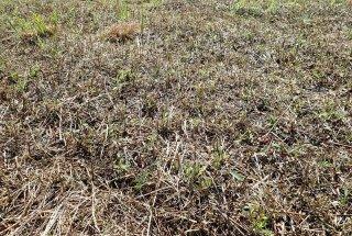 Večkratna košnja zavira rast invazivne tujerodne zlate rozge.