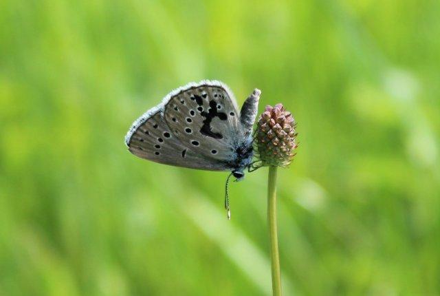 Populacija metulja strašničinega mravljiščarja na Ljubljanskem barju v letu 2020 izboljšana