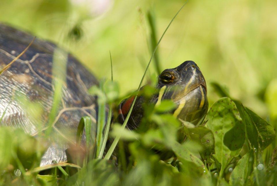 Rdečevratka, podvrsta okrasne gizadvke ki je najpogostejša tujerodna vrsta želv pri nas.