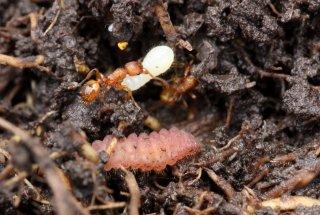 Zaključek terenskega dela študije povezave gostiteljskih mravelj in gosenic strašničinega mravljiščarja